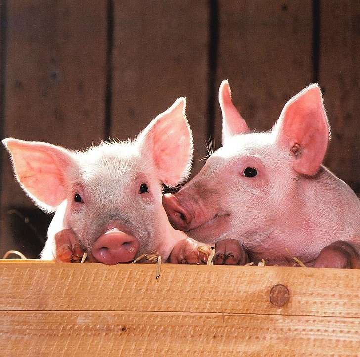 Под Винницей откроют свинокомплекс за 3 млн евро